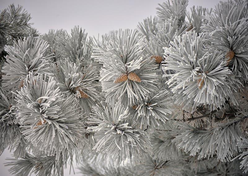 Frozen Pine Tree with cones stock photos