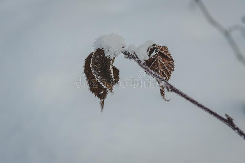 Close up of frozen tree branch and dry leaves covered with rime. royalty free stock photography