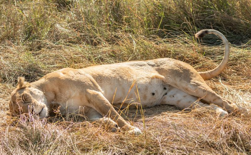 Close-up full body portrait of female lion lying on her back with her paws in the air royalty free stock images