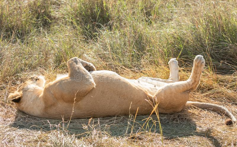 Close-up full body portrait of female lion lying on her back with her paws in the air royalty free stock photo