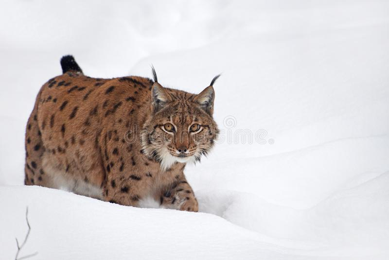 Close up full length Eurasian lynx in winter snow. Close up full length low angle side view of Eurasian lynx walking in deep winter snow and looking at camera stock photos