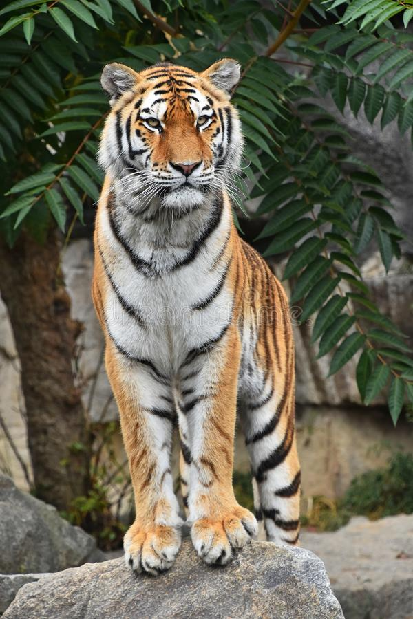 Close up front portrait of Siberian Amur tiger. Close up full length front portrait of one young Siberian tiger Amur tiger, Panthera tigris altaica standing on stock image