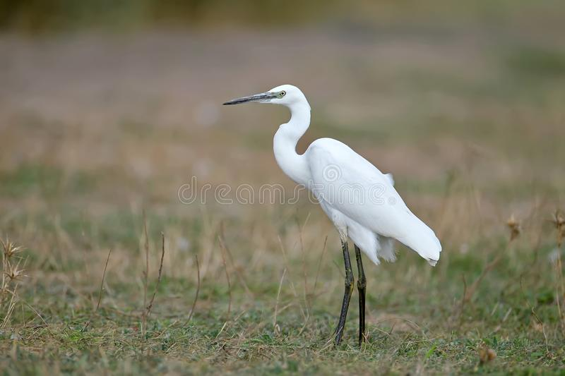 Close up full size portrait of a Little white heron. Stantds on a ground stock photo