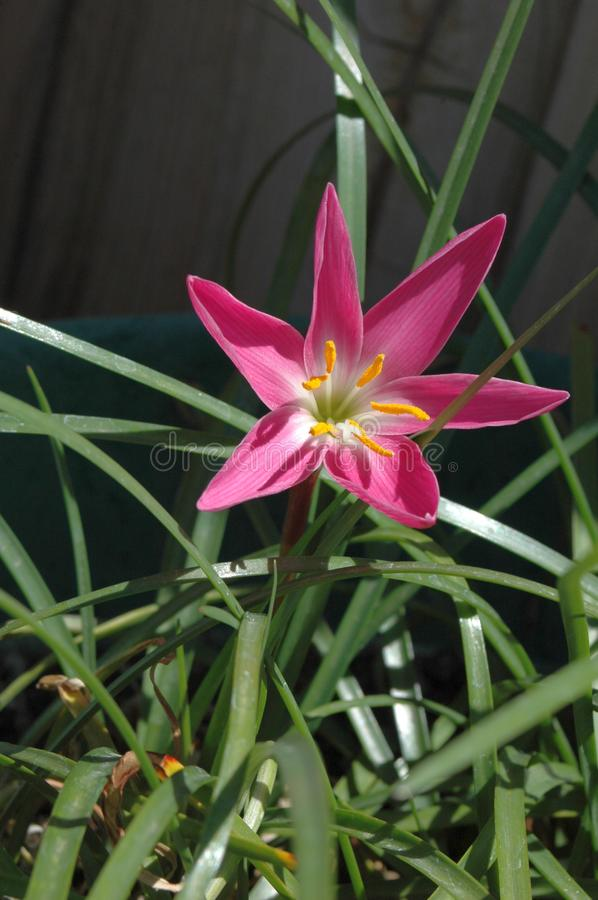Close-up full view of Lone colorful `Mexican Lily` in vivid Magenta with full morning sun stock image