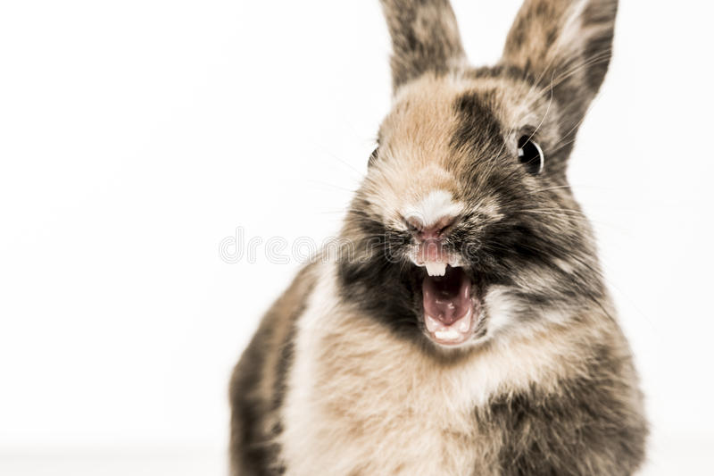 Close-up of a funny Rabbit. Isolated on white royalty free stock images