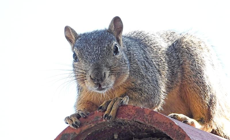Close up of furry gray squirrel royalty free stock photos