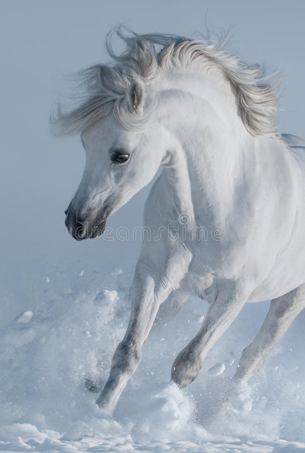 Close up galloping white stallions in snow. stock photos