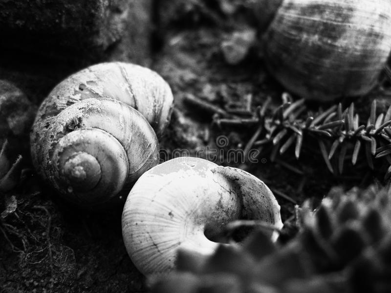 Close up of garden snails hiding in their shells. Fascinating nature. Scaled up look on several snails hiding in their houses in a family garden in black and stock image