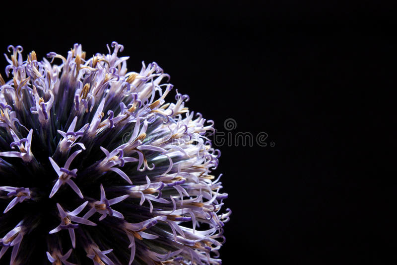 Close up garlic blossom on a black background royalty free stock image