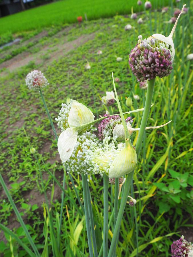 Close-up garlic flower - Image stock photo