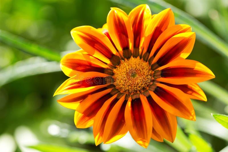 Gazania flower or african daisy in a garden royalty free stock photo