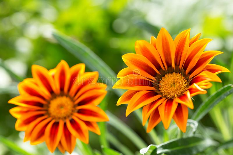 Gazania flower or african daisy in a garden stock image