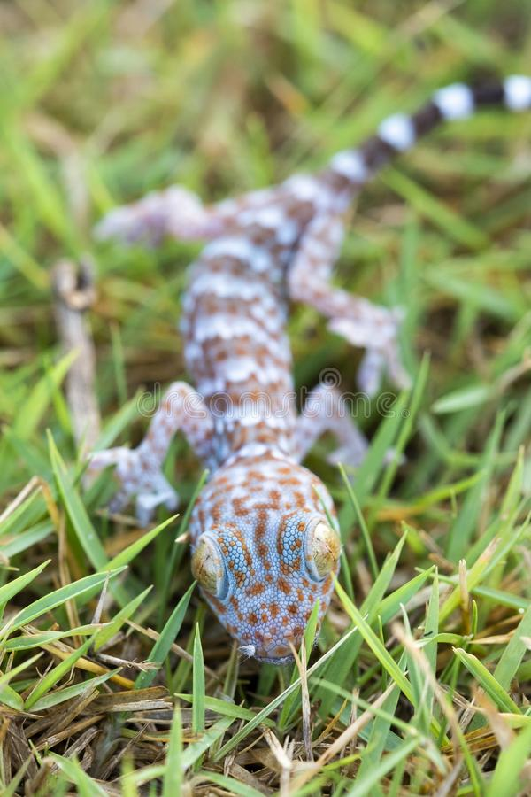 Close up gecko on lawn, many orange color dots spread on blue sk stock photos