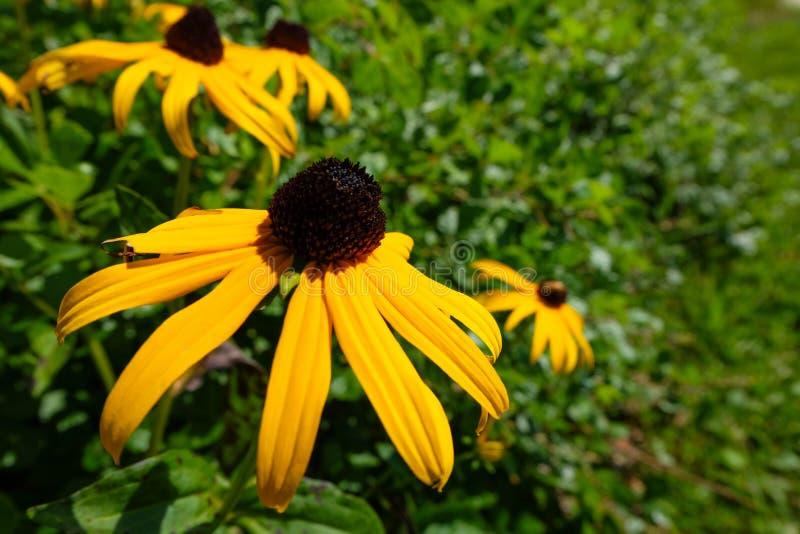 Close-up gele coneflower stock fotografie