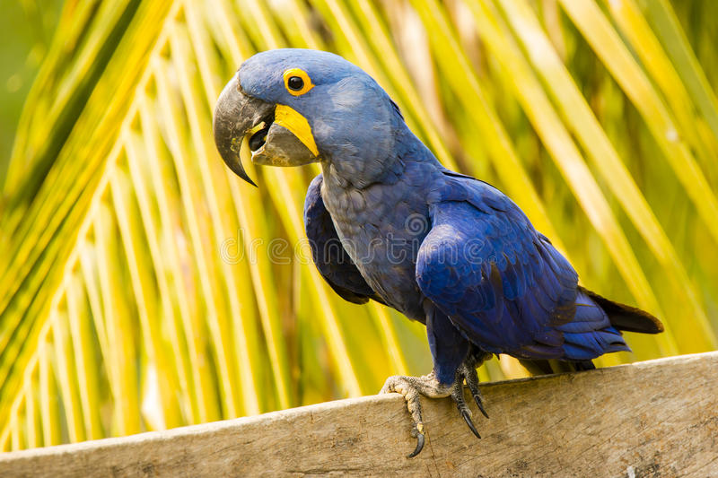 Close-up Gelukkig Hyacinth Macaw Perching voor Palm stock foto's