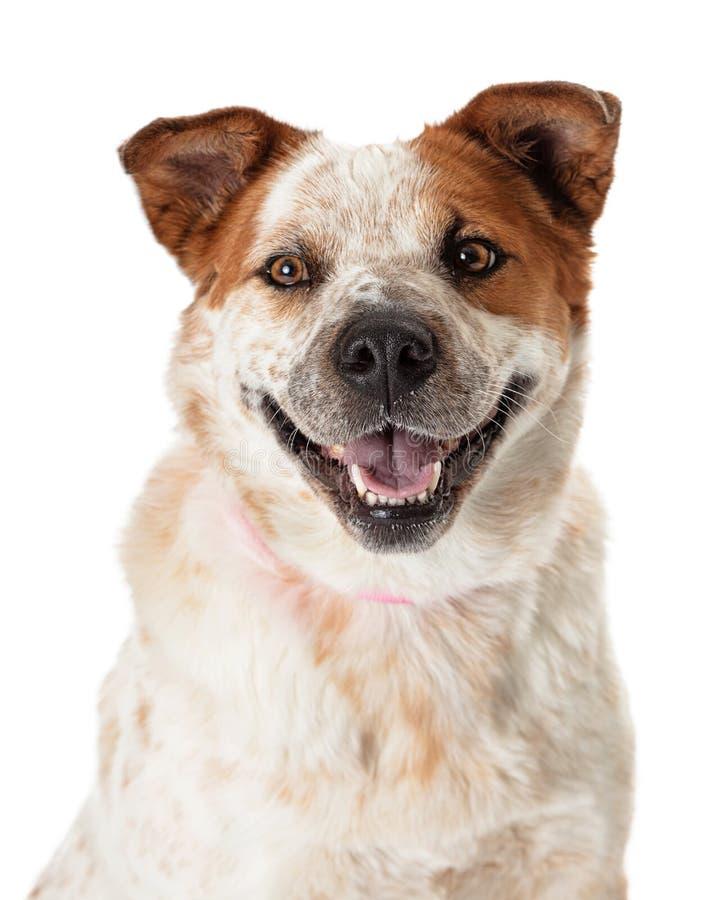 Close-up gelukkige het glimlachen heeler hond stock foto's