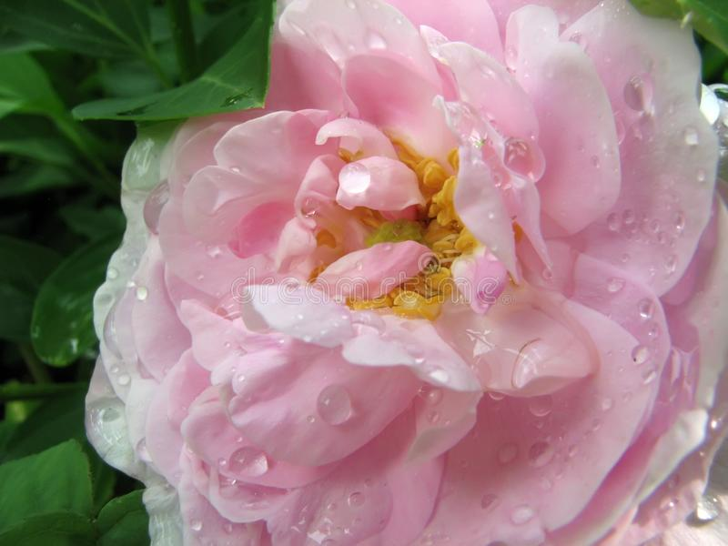 Gentle pink rose with drops after rain. Close-up of gentle pink rose with drops after rain that look like pearls. The flower petals are enveloped by green leaves royalty free stock photography