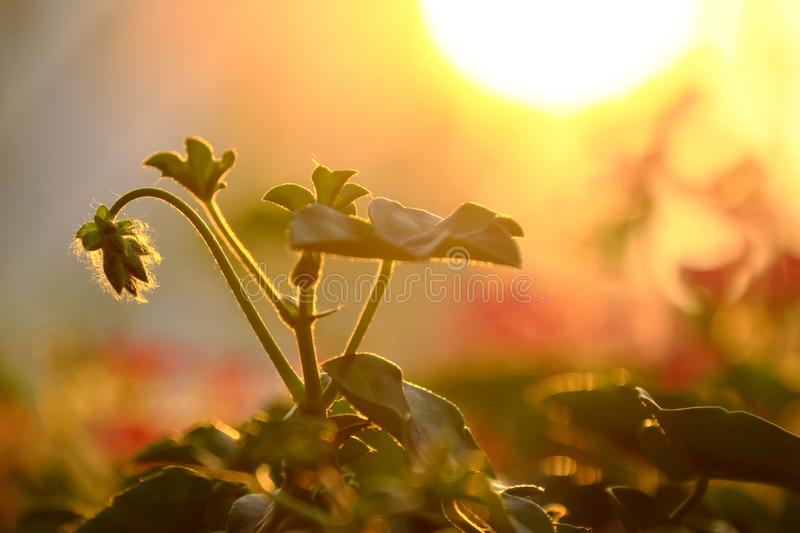 Close up geranium flower buds lower head, leaves rise under yellow sun stock images