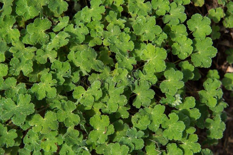Close up on Geranium renardii green leafs stock photography