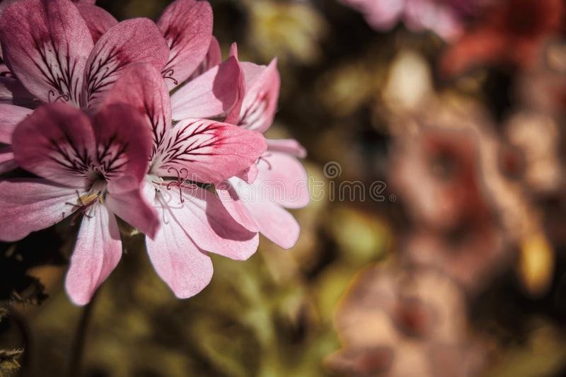 close up geranium roses flowers royalty free stock photography