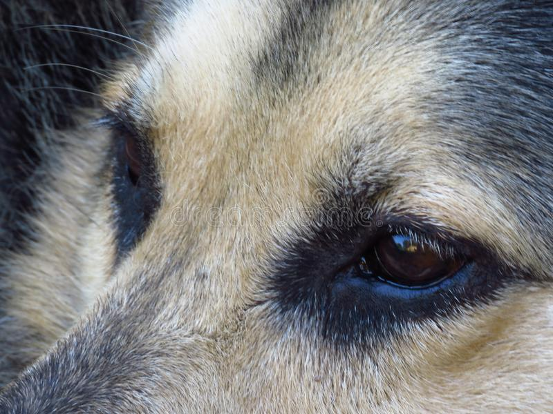 Close-up of German Shepard brown eyes looking straight into distance. Dog`s eyes. Pet rescue concept. stock images