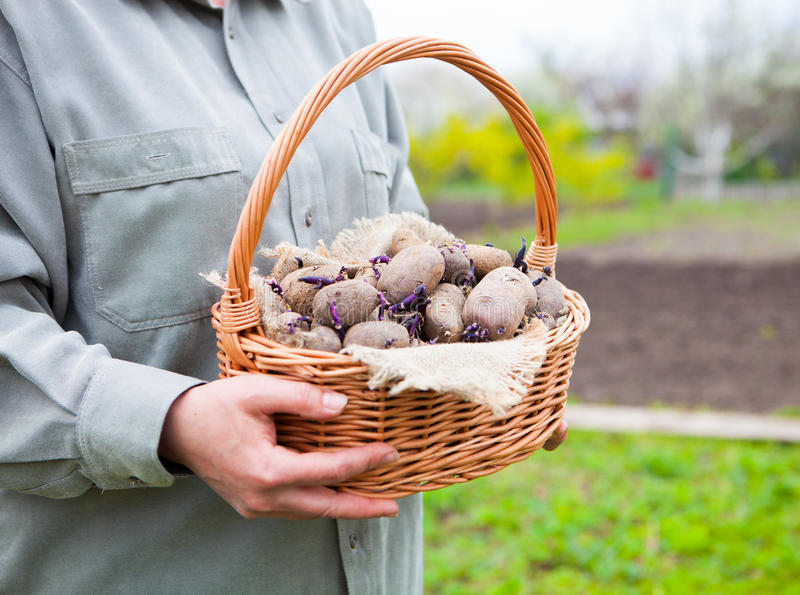 Close-up of germinating potatoes in basket in the woman farmer h. Ands on natural green background stock photos