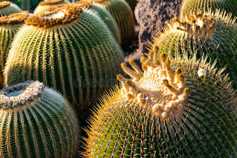 Close-up on a giant barrel cactus stock photos