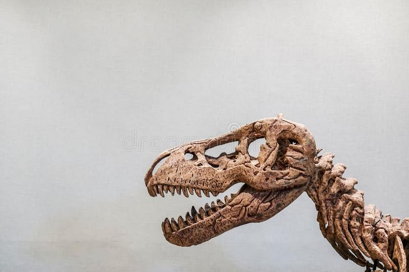 Close up of Giant Dinosaur or T-rex skeleton and copy space, Dinosaurs are a diverse group of reptiles of the clade Dinosauria. stock images
