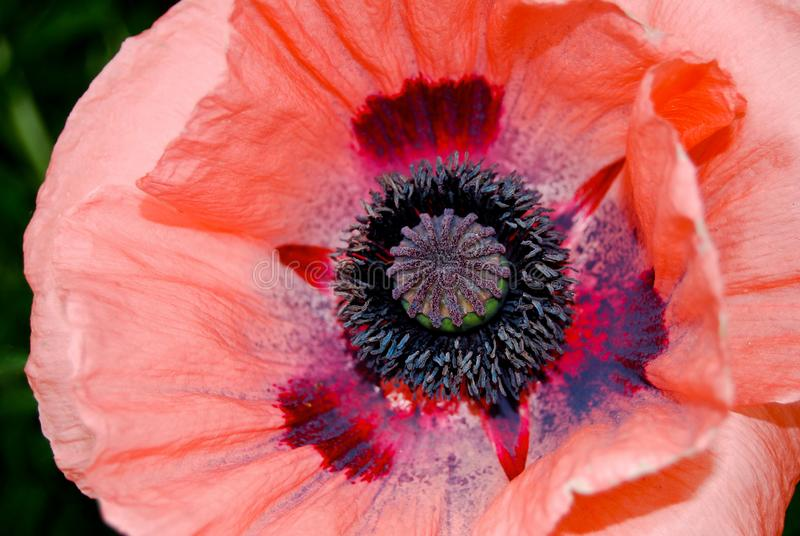 Close Up Giant Poppy in Tangerine Red Orange royalty free stock image
