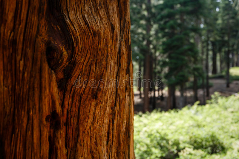 Close-up of giant sequoia redwood tree trunk bark pattern royalty free stock image
