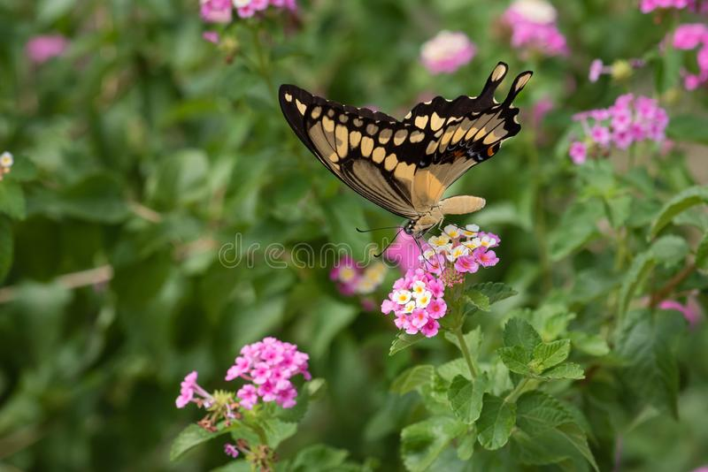 Close-up Giant Swallowtail Butterfly on Pink Lantana stock image