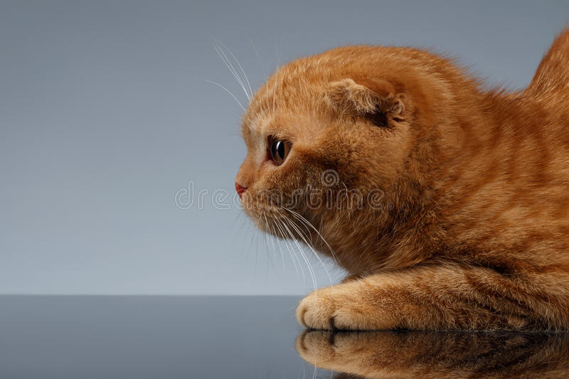 Close-up Ginger Scottish Fold Cat op Gray Background in Profielmening royalty-vrije stock foto's