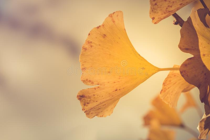 Close up of Ginkgo leaves with yellow color in Autumn season of Japan. Nature season change royalty free stock photography