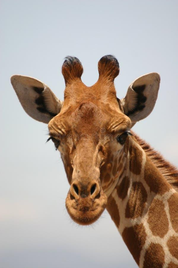 Close-up giraf, giraf stock foto's