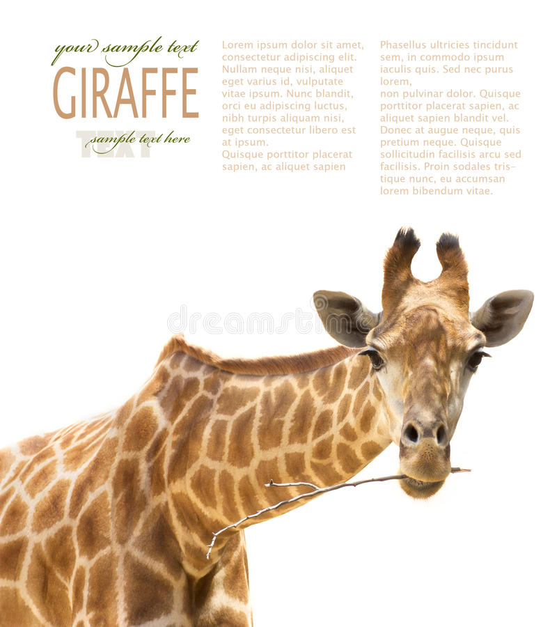 Download Close up of giraffe stock image. Image of brown, close - 20714315