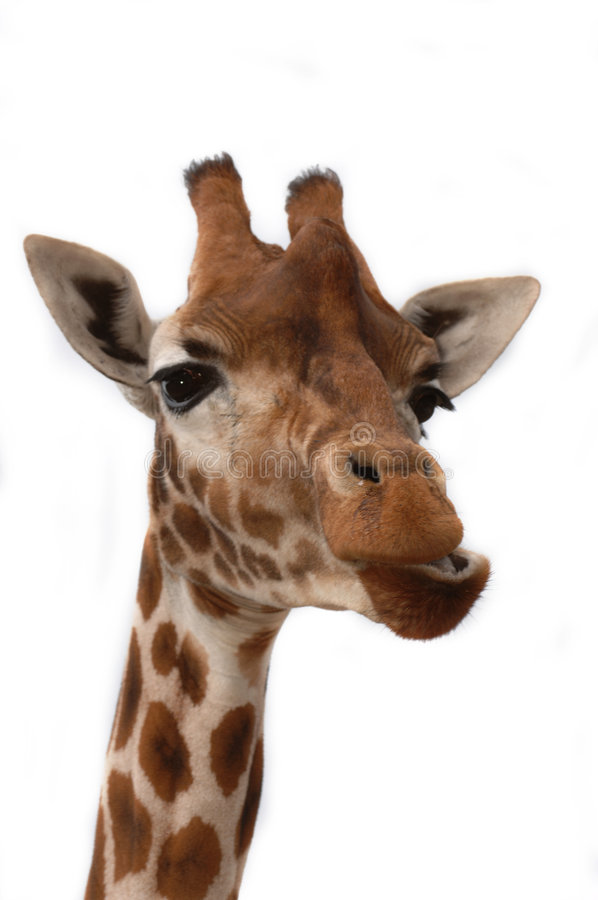 Download Close-up of giraffe stock photo. Image of looking, skinny - 828692