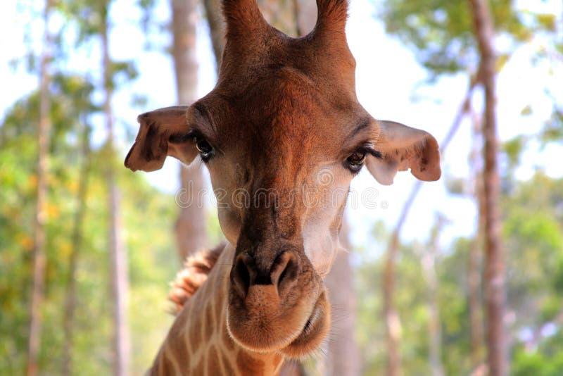 Close-up of a giraffe royalty free stock photos