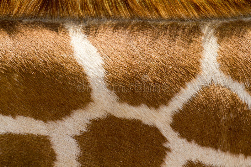 Close Up Of Giraffe Pattern Makes Good Zoo Animal Background. This close up pattern of a Giraffe's neck area would make a great background for wild animal or zoo royalty free stock photography