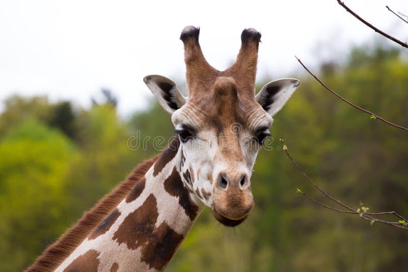 Close up Giraffe portrait royalty free stock photos