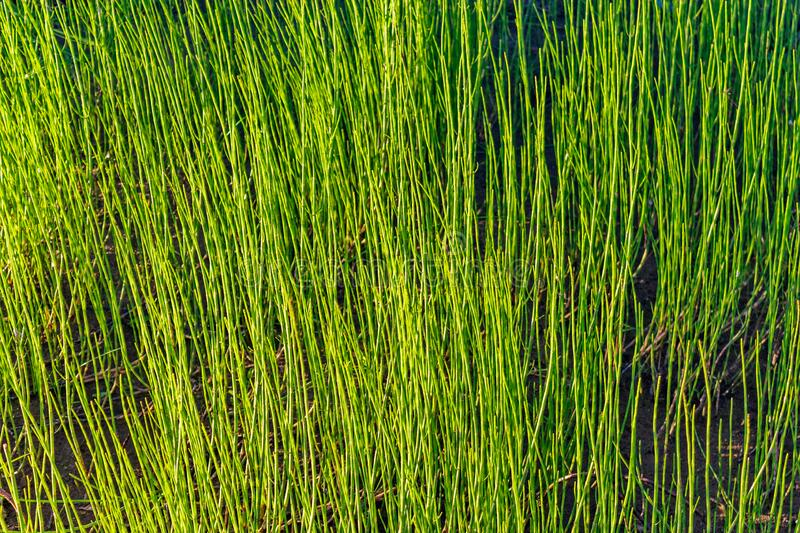 Close-up of a glade overgrown with equisetum royalty free stock photography
