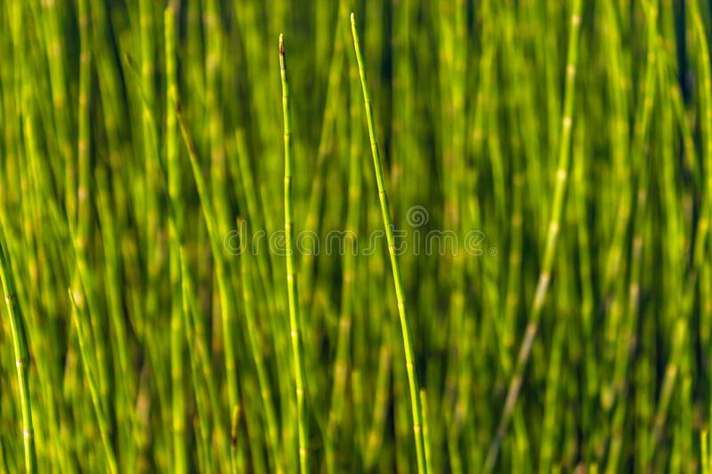 Close-up of a glade overgrown with equisetum royalty free stock photo