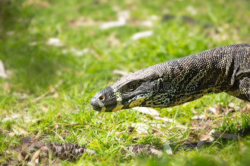 Close up of goanna lizard in Australia stock photo