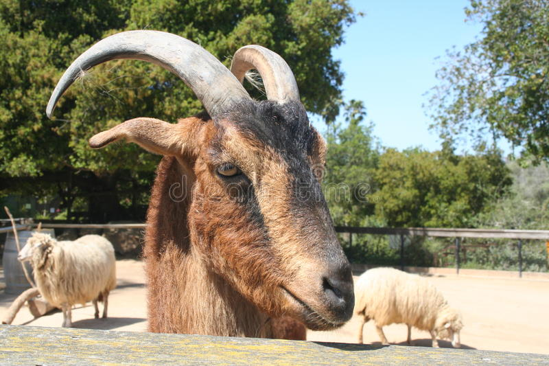 Download Goat And Sheep Royalty Free Stock Image - Image: 30209186