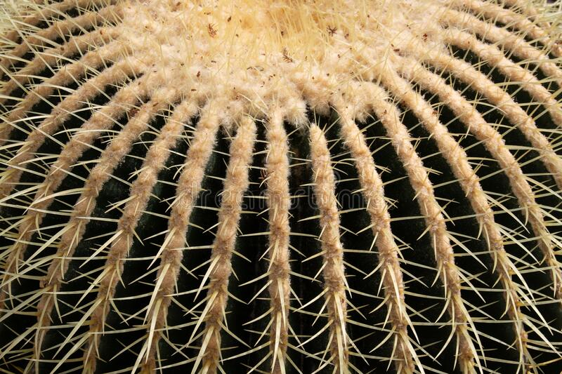 Close-up of golden barrel cactus royalty free stock images