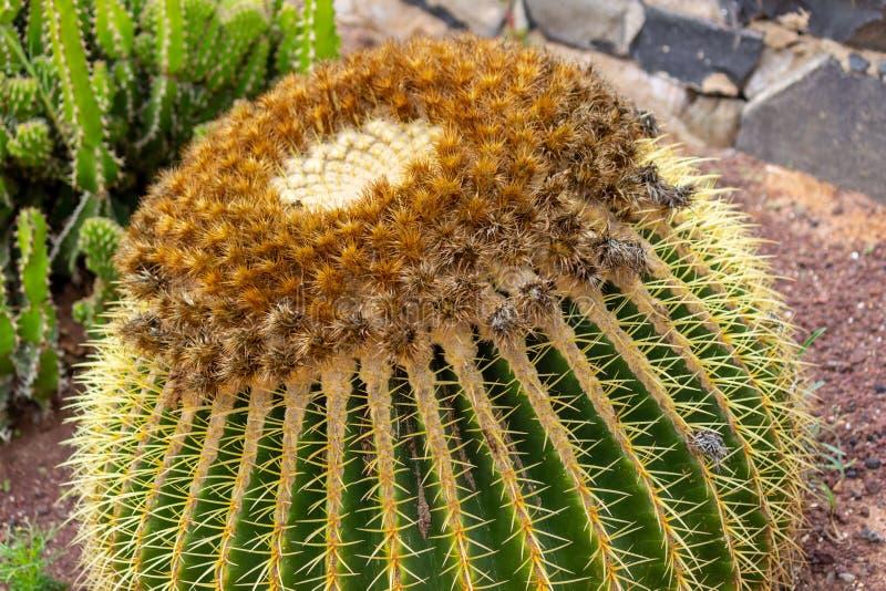 Close up of Golden barrel cactus in Betancuria on canary island Fuerteventura stock photos