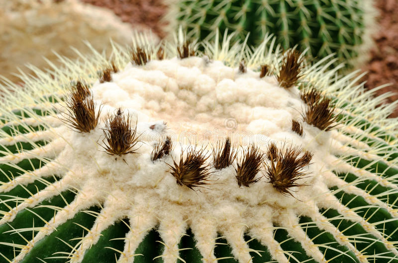Close up of golden barrel cactus plant royalty free stock photos