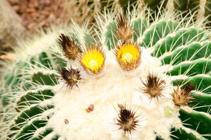 Close up of golden barrel cactus plant stock photos