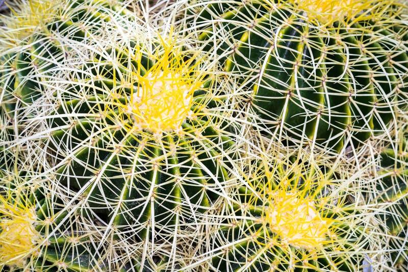 Close up of Golden barrel cactus, San Francisco bay area, California stock images