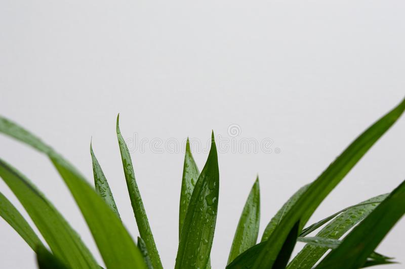 Close-up of golden cane palm. Dypsis lutescens leaves with water drops on white background. Exotic plant green leaves stock photos