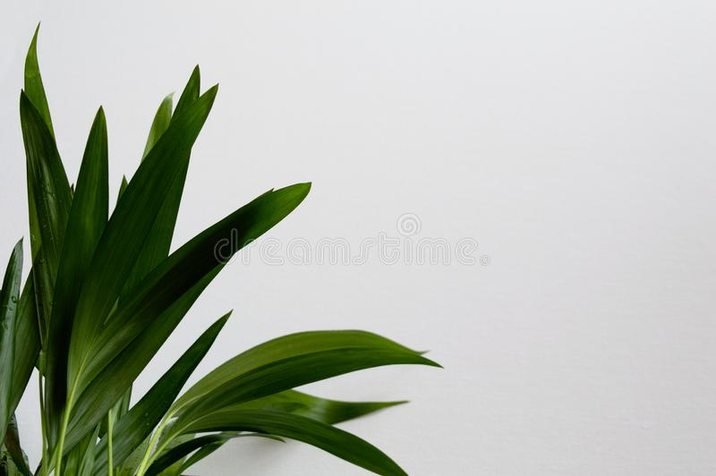 Close-up of golden cane palm. Dypsis lutescens leaves with water drops on white background. Exotic plant green leaves royalty free stock image